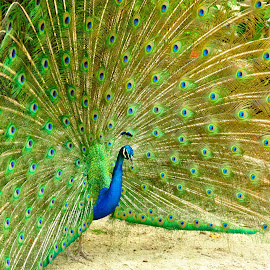 Pavo real abierto by Alfonso de las Cuevas - Animals Birds