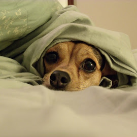 Puppy by Katelyn Bilby - Animals - Dogs Puppies ( bed, puppy, cute, dog, animal )