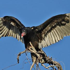 Turkey Vulture by Priscilla Renda McDaniel - Animals Birds ( bird, vulture, wide wingspan, turkey, large )