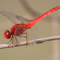 Dragonflies of Java