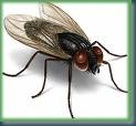 Housefly2