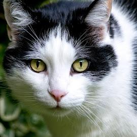 Cat Eyes by Tiffany O'Malley - Animals - Cats Portraits ( up close, cat, nature, bushes, feline, eyes )