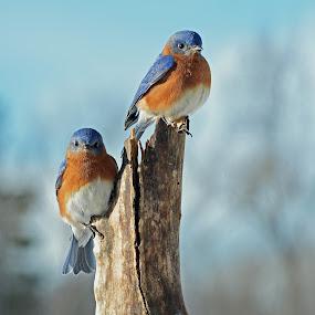 Eastern Bluebirds by Steven Liffmann - Animals Birds ( bird, perched, bluebird, blue, two birds, eastern bluebird,  )