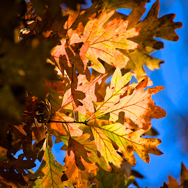 Fall Into Blue by Dale Kemp - Nature Up Close Leaves & Grasses ( fall, color, colorful, nature,  )