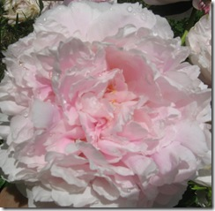 pink peonies