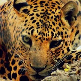 I am Sad by Christopher Solomon Raj - Animals Lions, Tigers & Big Cats ( big cat, cat, zoo, sad )