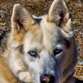 Ice - Hybrid - Husky/Wolf by Janet Aguila Krause - Animals - Dogs Portraits ( husky wolf, hybrid wolf dog, wolf dog, husky )