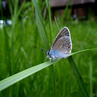 The Amanda's Blue butterfly