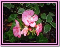 geranium 5-08sm
