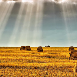 Wheat Field by Glenn Visser - Landscapes Prairies, Meadows & Fields ( field, wheat, spotlights )
