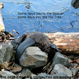 Some days you are the Beaver, some days you are the Log by Donald Darneille - Typography Captioned Photos ( chewed log, dam, beaver, bad day, dead )
