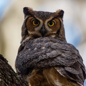 Great Horned Owl by Robert Strickland - Animals Birds ( birds, great horned owl, owls,  )