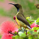 Olive-backed Sunbird ♂