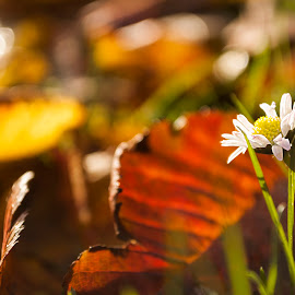Lonely autumn daisy by Ruth Holt - Novices Only Flowers & Plants ( autumn, bright, daisy, sunlight, lonely )