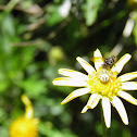 Crab Spider and Fly