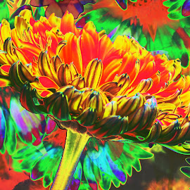Gerbera by Nikki Wilson - Digital Art Abstract ( art, gerbera, digital, flower, colours,  )