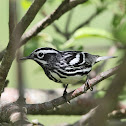 Black-and-white Warbler (male)