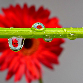 Red Flower Drops by Deborah Russenberger - Nature Up Close Natural Waterdrops ( red, droplets )