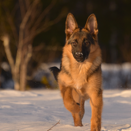 by Kristin Smestad - Animals - Dogs Running ( hund, puppy, schäfer, dog, running, animal )