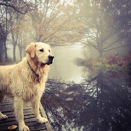 Autumn walkies  by Liani Mawby - Animals - Dogs Portraits ( water, walks, fog, autumn, dog, canal, golden retriever )