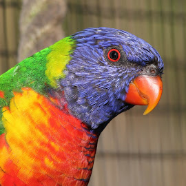 Lorikeet by Ralph Harvey - Animals Birds ( bird, wildlife, ralph harvey, longleat, lorikeet )