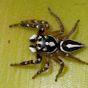 Decorated Jumping Spider