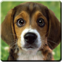 Puppy Beagle Live Wallpaper icon