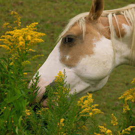 Greener on the other side by Michael Wolfe - Animals Horses ( farm animals, pasture, horses, horse, painted horse,  )