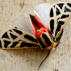 Mexican tiger moth