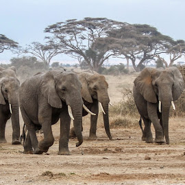 Herd of Elephants approaching  ... by Wim Moons - Animals Other Mammals ( elephant, kenya, wildlife, mamal, africa )
