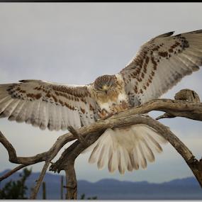 Incoming for Landing by Stephan Guenot - Animals Birds ( bird, arizona, tucson, hawk )