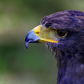 Blue Eagle by Ana Silva - Animals Birds