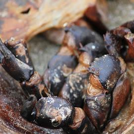 Horseshoe Crab by Julia Nicely - Animals Sea Creatures ( nature, horseshoe crab, sea, ocean, seabrook )