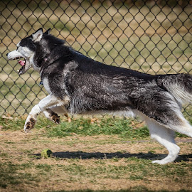 Exuberation by Ron Meyers - Animals - Dogs Running