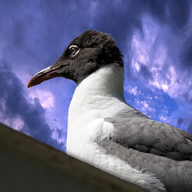 Portrait of a laughing gull by Sandy Scott - Digital Art Animals ( gull, florida birds, water birds, gull portrait, birds, laughing gull,  )