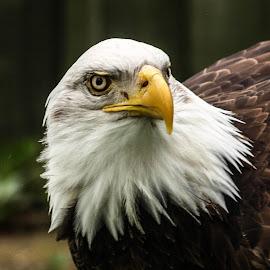 Beady eye by Garry Chisholm - Animals Birds ( bird, garry chisholm, eagle, nature, wildlife, bald, prey, raptor )