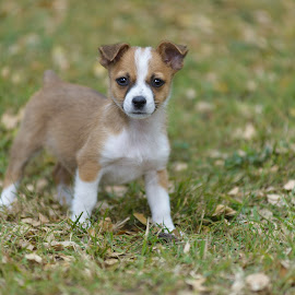 Asher by Benita Walker - Animals - Dogs Puppies ( pet photography, puppies, dogs, dog photography, dog portraits, puppy portrait )