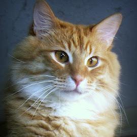 Rum Tum Tugger by Trish Hamme - Animals - Cats Portraits