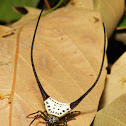 Long-horned Orb-weaver Spider
