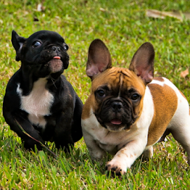 French Bulldog by Lim Darmawan - Animals - Dogs Puppies (  )