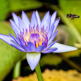 water lily and bee by Vibeke Friis - Flowers Single Flower ( waterlily, purple, bee, lavender, insects, ant, flower,  )