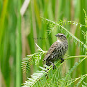 red winged blackbird (female)