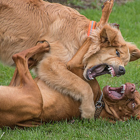 Showing Teeth by Sue Matsunaga - Animals - Dogs Playing