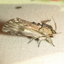 White-streaked Prominent