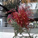 Grevílea-de-jardim