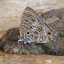 Spotted Hairtail or Spotted Ciliate Blue