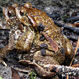 Marriage by Gil Reis - Animals Amphibians ( water, forests, explore, animals, life, bio, riivers )