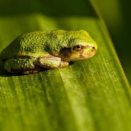 Tree Frog by Dan Ferrin - Animals Amphibians ( frog, tree frog, amphibian, frogs, amphibians )