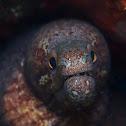 Yellow Margined Moray Eel