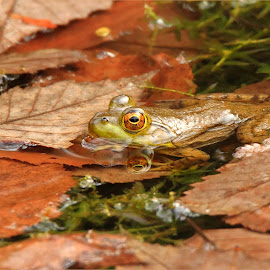 Autumn Leaves, and a Frog by Dennis Ba - Animals Amphibians ( autumn leaves, frog, silver lake, pond )